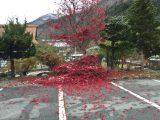 もみじの葉っぱ、真っ赤に散ってしまいました。