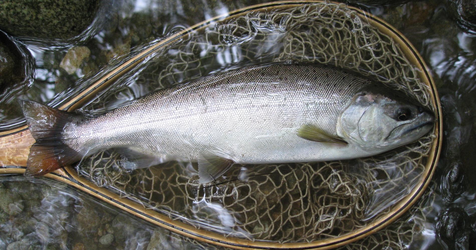 全国屈指の渓流魚が釣れる川「清流蒲田川」